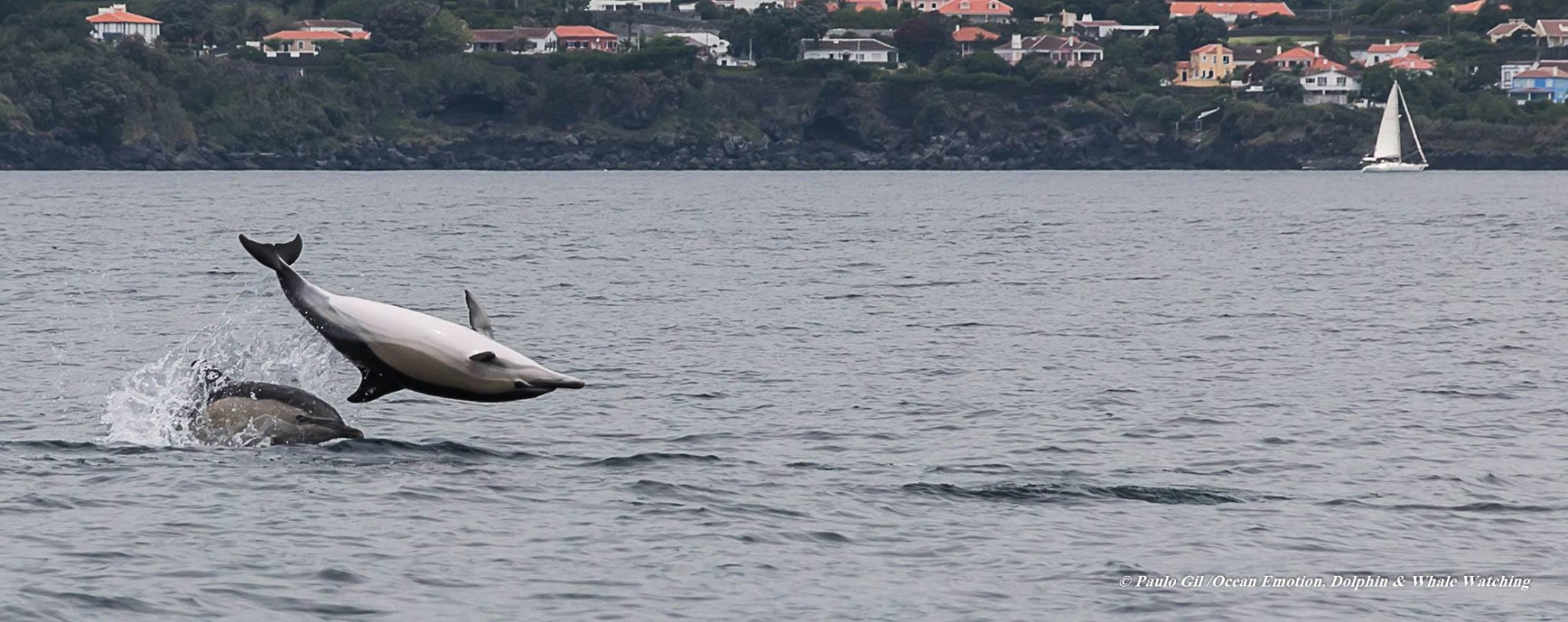 Common Dolphin (5)