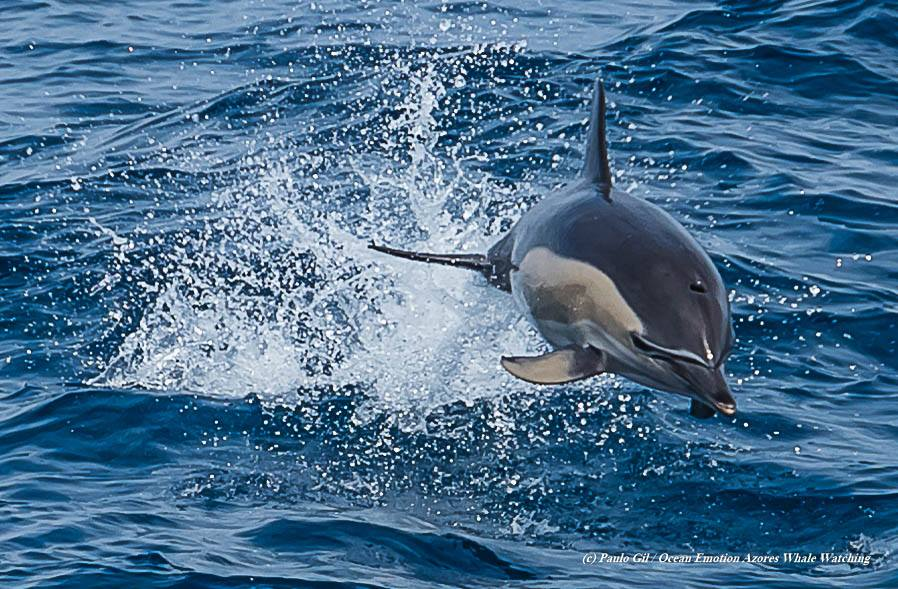 Common Dolphins (5)