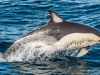 Common Dolphin (4)