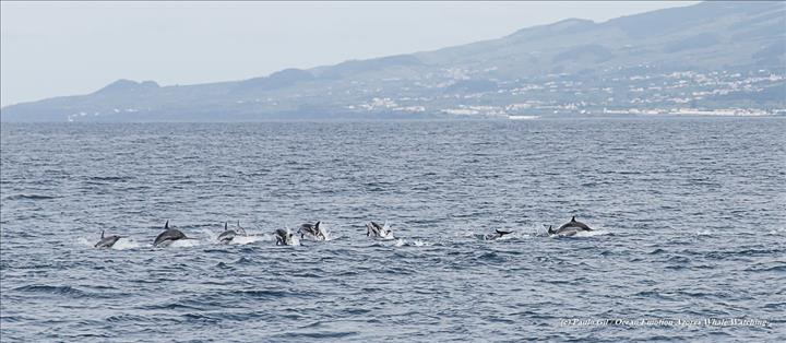 Striped Dolphins (2)