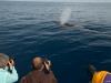 Fin Whale (3)