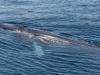 Fin Whale (4)