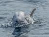 Risso's Dolphin (3)