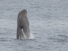 Sperm whale (7)